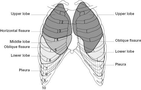 Lung-surface-anatomy