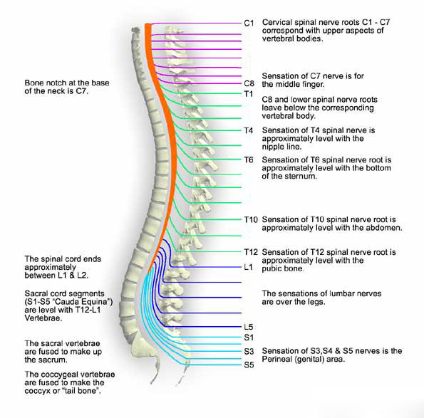 Spinal Trauma Anatomy Oxford Medical Education