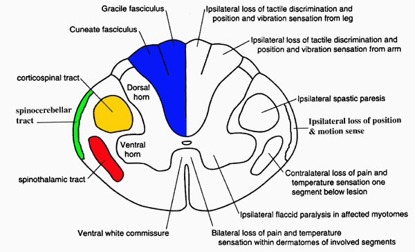 Tracts-in-the-spinal-cord