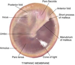 The tympanic membrane as seen through an otoscope